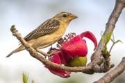 Baya weaver bird