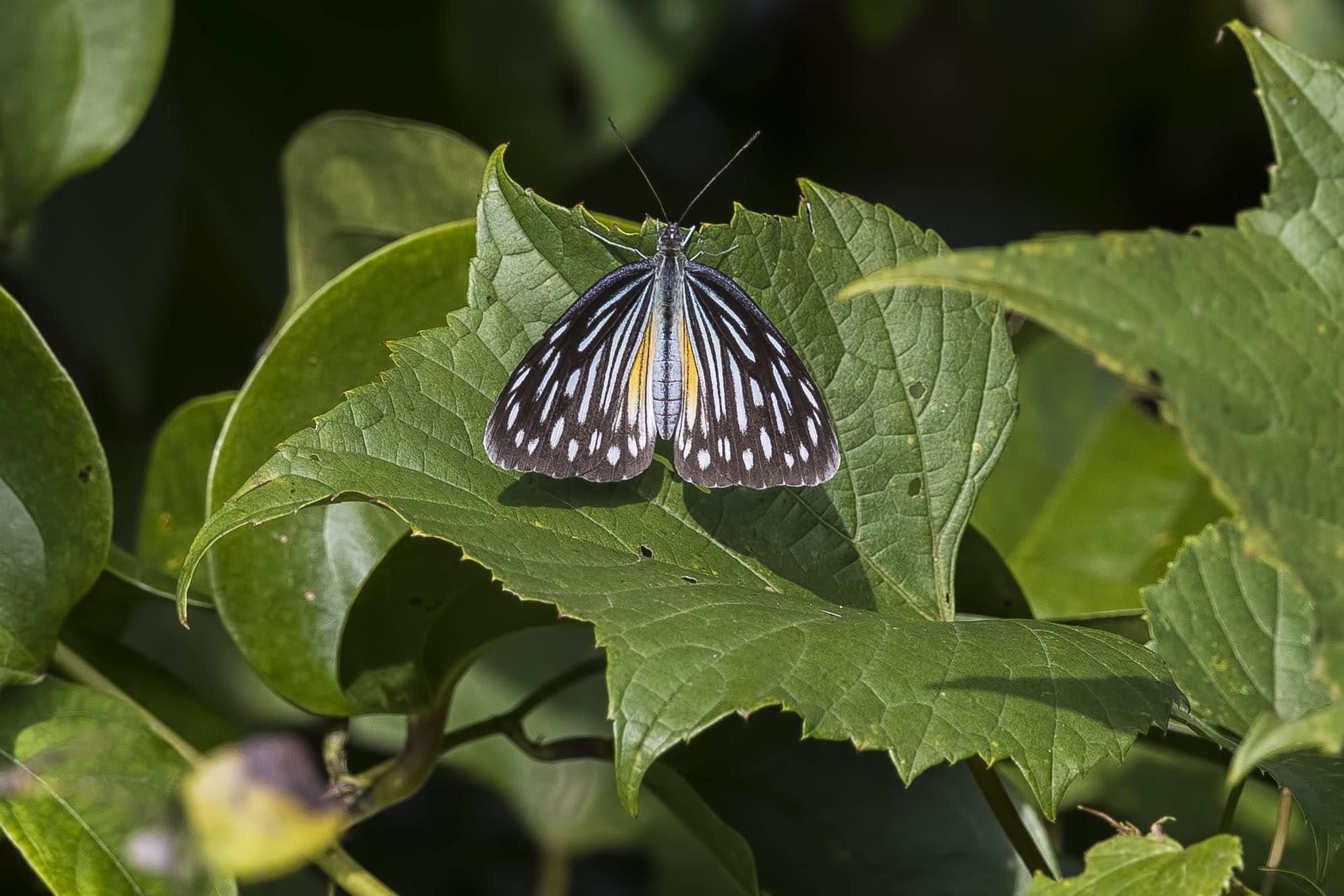 Common wanderer (philomela form)