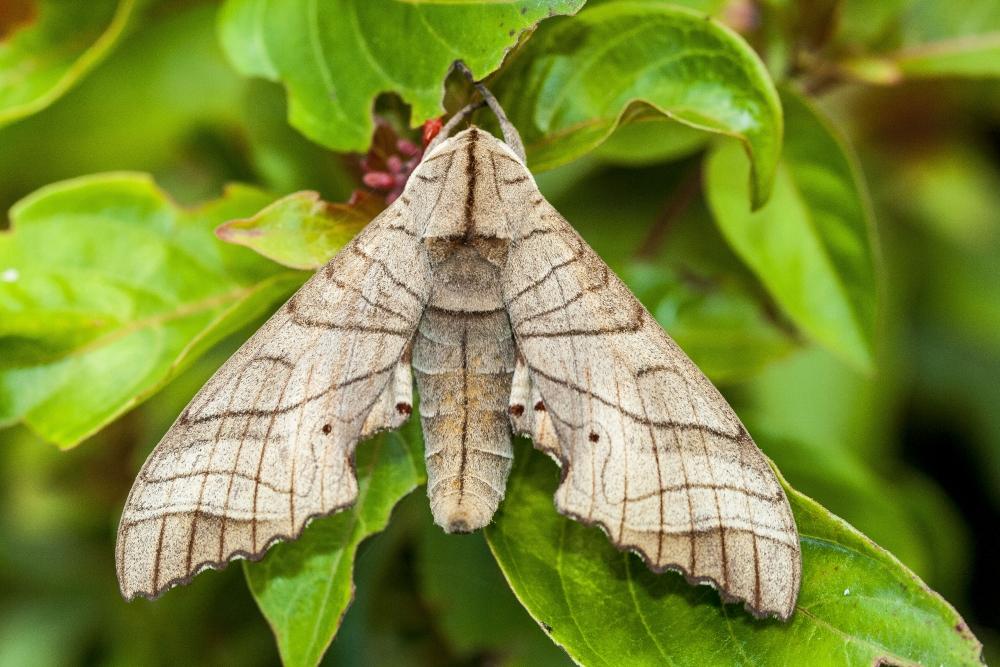 moth hawk