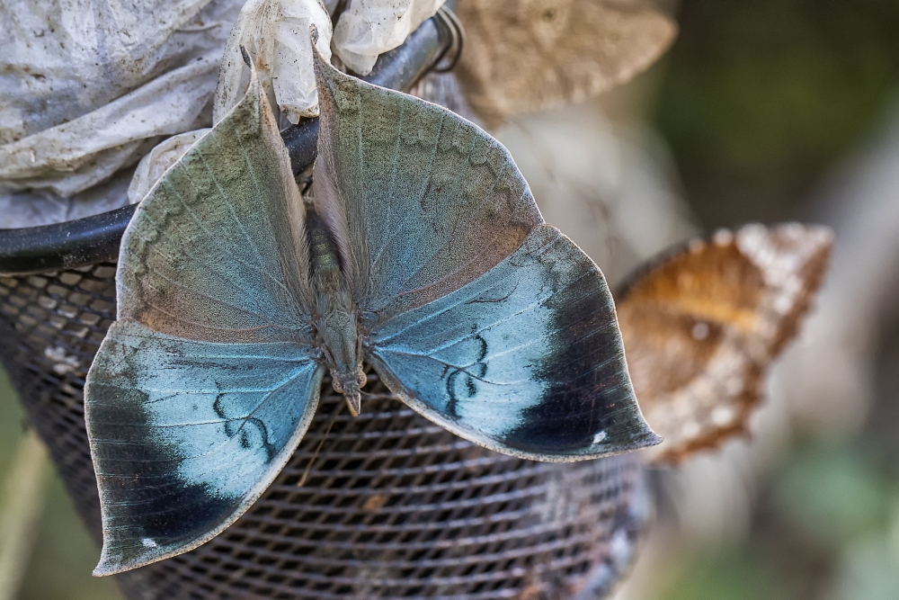 oakleaf blue open