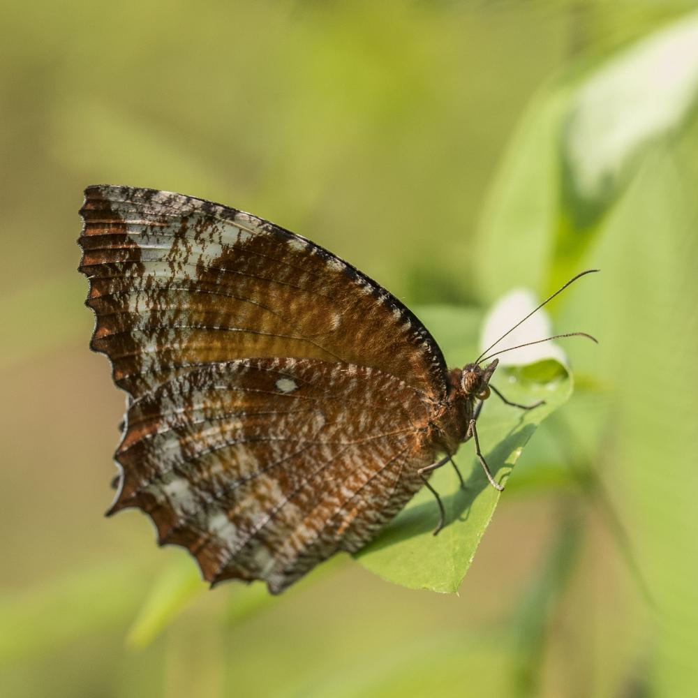 palmfly common