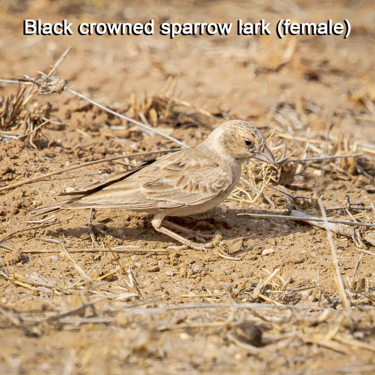 black-crowned-sparrow-lark-f