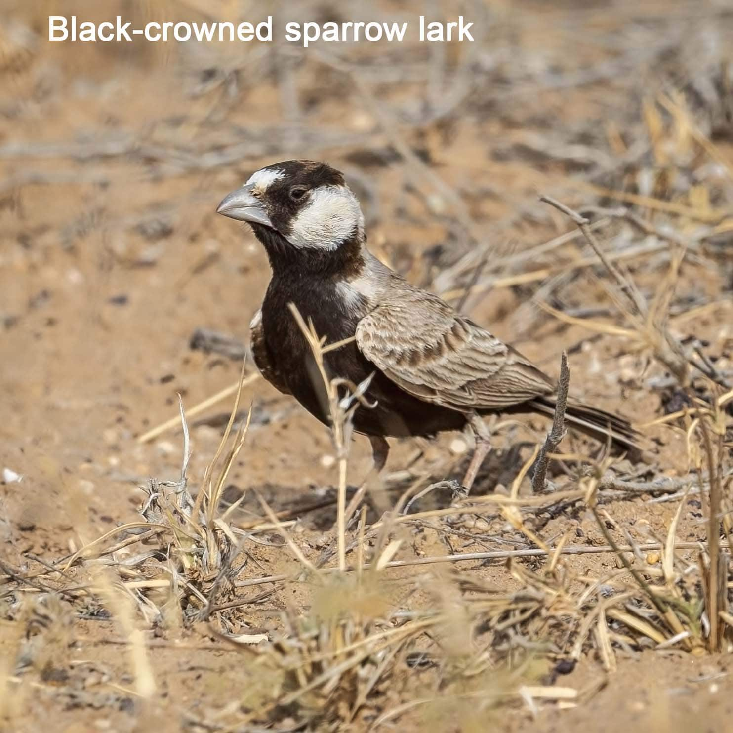 black-crowned-sparrow-lark