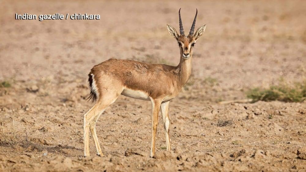 chinkara