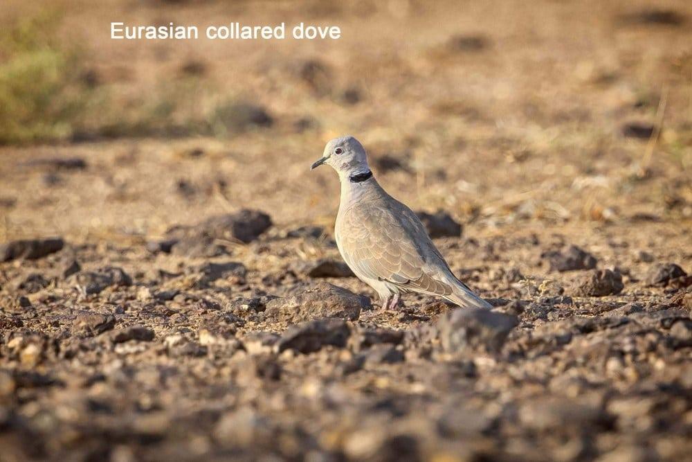 eurasioan-collared-dove