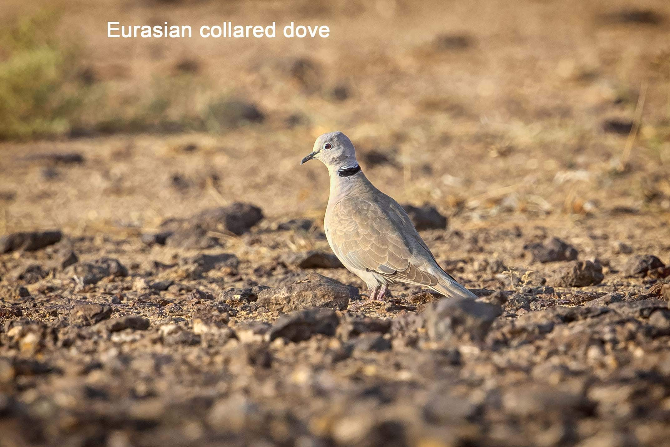 eurasioan-collared-dove