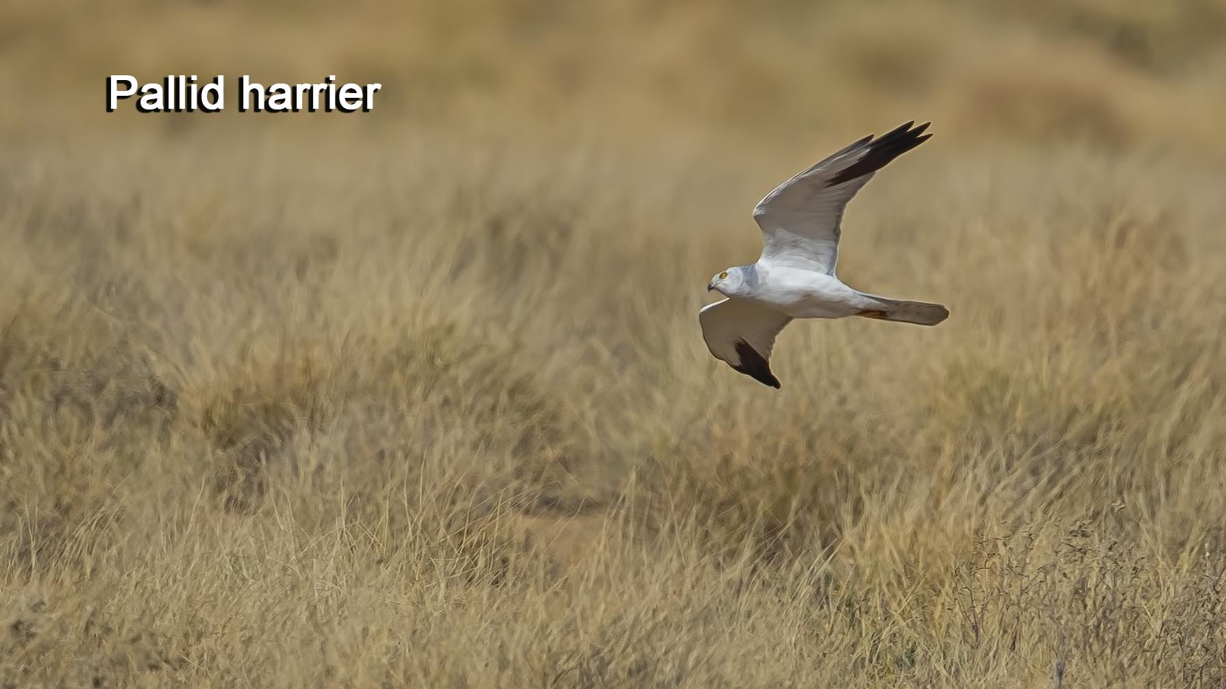 pallid-harrier-copy