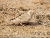 black-crowned-sparrow-lark-f