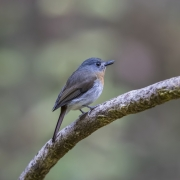 flycatcher white belied blue