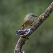 fulvetta brown-cheeked