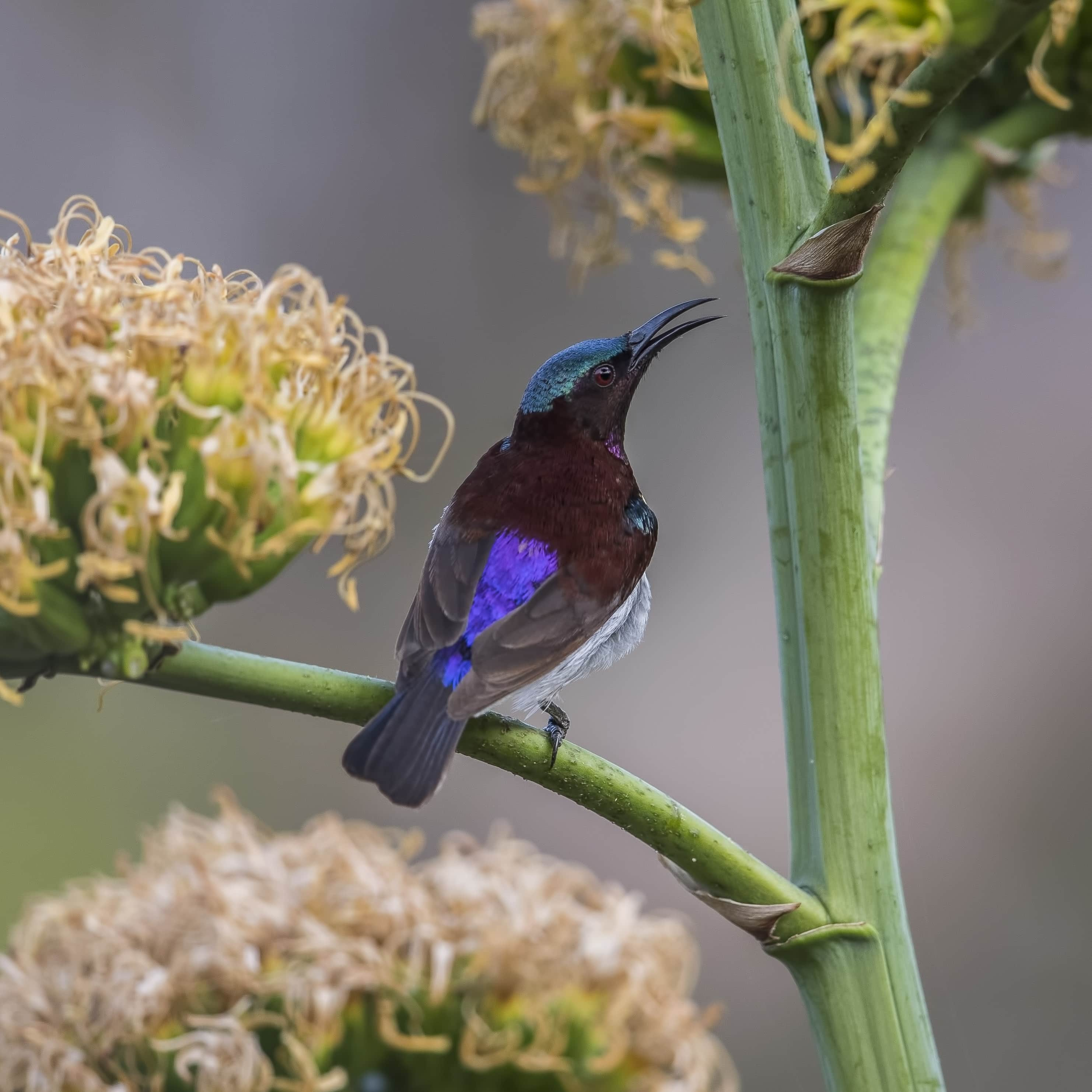 Purple--rumped sunbird