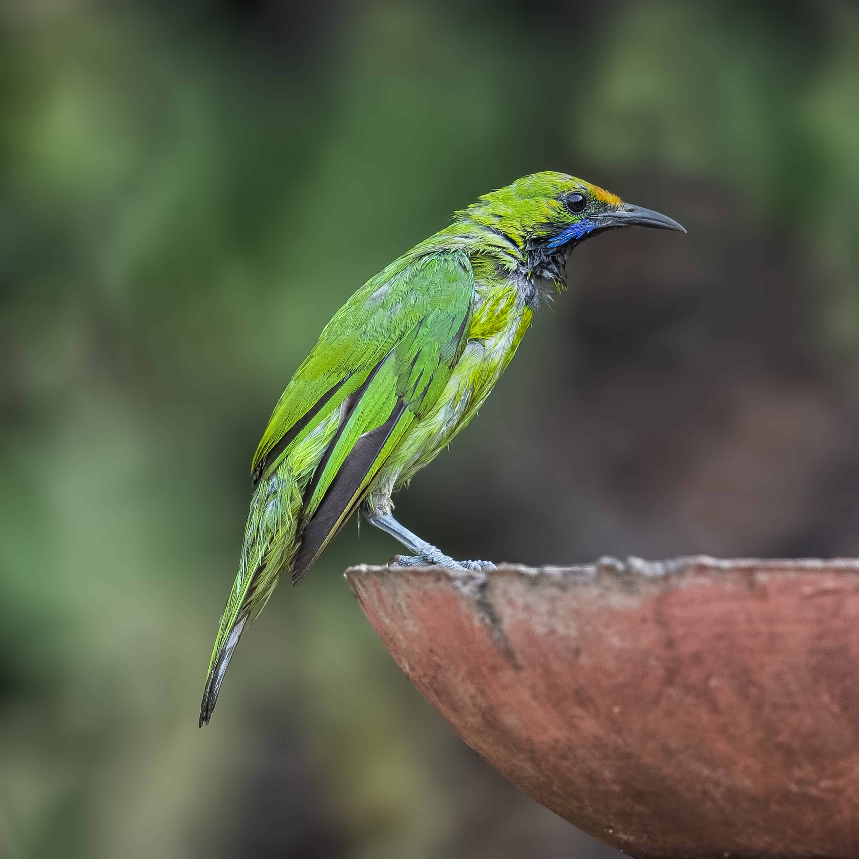 Gold-fronted Leafbird