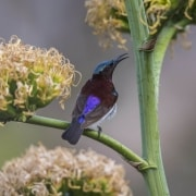 Purple--rumped sunbird
