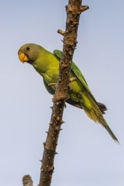 Plum-headed Parakeet