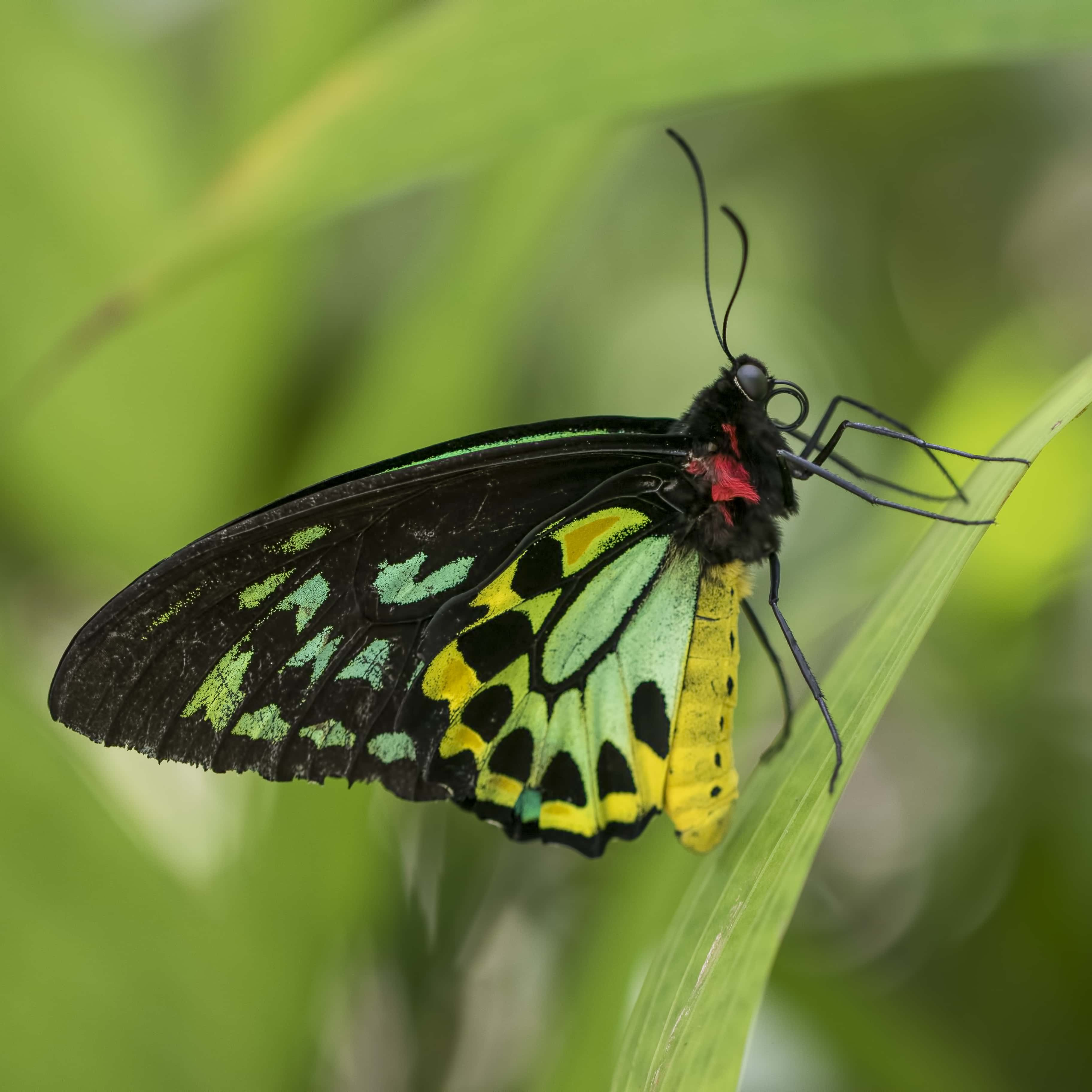 Cairns Birdwing (male)