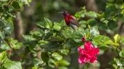 Vigor's sunbird
